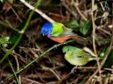 Painted Buntings - Nesting Pair