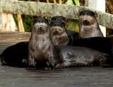 Teenage Otters - posing for the portrait