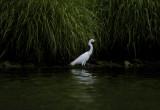 snowy egret 062