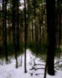 winter woods 263