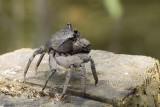 Malacostraca (Crabs, Krill, Shrimp etc.)