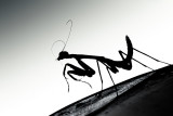 Insecta (Insects)