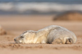 Halichoerus grypusGrey seal