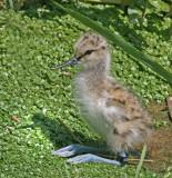 avocet chick 7.jpg
