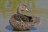 blue winged teal female.jpg