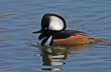 hooded merganser male 2.jpg