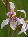 Cyanella orchidiformis.jpg