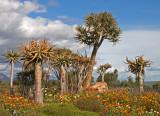 Kokerboom clan william gardens.jpg