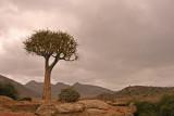 kokerboom 1.jpg