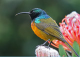 orange breasted sunbird 4.jpg