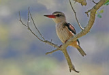 brown hooded kingfisher 3.jpg