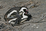 african penguins mating.jpg