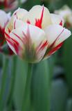 tulip flaming spring green 2.jpg