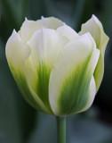 tulip spring green.jpg