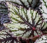 Begonia leaf 3.jpg
