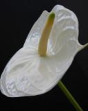 white anthurium.jpg