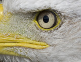 08 August eye of the bald eagle.jpg
