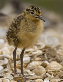 06 June ruff chick.jpg