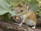 09 September woodmouse.jpg