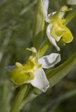 Ophrys apifera var chlorantha.jpg