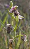 Ophrys kotschyi 2.jpg