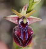 Ophrys mammosa 3.jpg