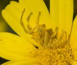 yellow crab spider in chrysanthemum.jpg