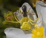 yellow crab spider and prey.jpg