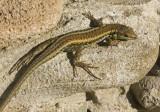 lizard 3.jpg