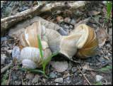 P1410463 Mating snails.jpg