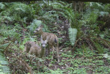 Fawns in Muir Woods