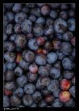 Cueillette de bleuets à Blainville ...