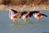_flamingo_