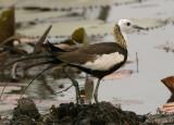 Pheasant-tailed Jacana - breeding -- 2008