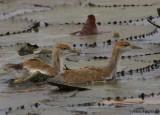 Pheasant-tailed Jacana - juvenile -- 2008