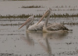 Spot-billed Pelican -- 2008