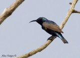 Purple Sunbird -- sp 34