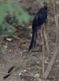 Greater Racket-tailed Drongo -- 2009 - full adult rackets