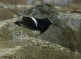 White-fronted Forktail -- sp 229