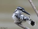 Pied Kingfisher -- 2009 - 2