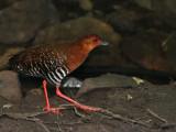 Red-legged Crake - 2009 - walking