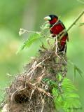 Black-and-Red Broadbill -- 2009