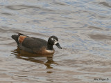 Australian Shelduck - female 3