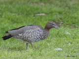 Australian Wood Duck - female