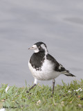 Magpie-lark - female