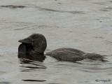 Musk Duck - male 4
