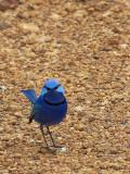 Splendid Fairy-wren - male 3