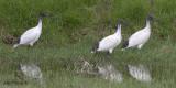 Australian White Ibis 4