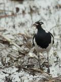 Magpie-lark male 2