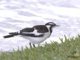Magpie-lark - juvenile